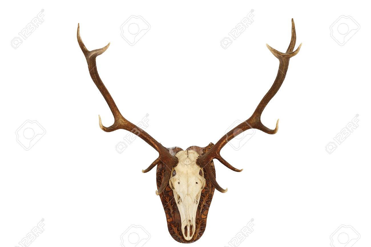 Majestic Red Deer Stag ( Cervus Elaphus ) Hunting Trophy, Isolated ...