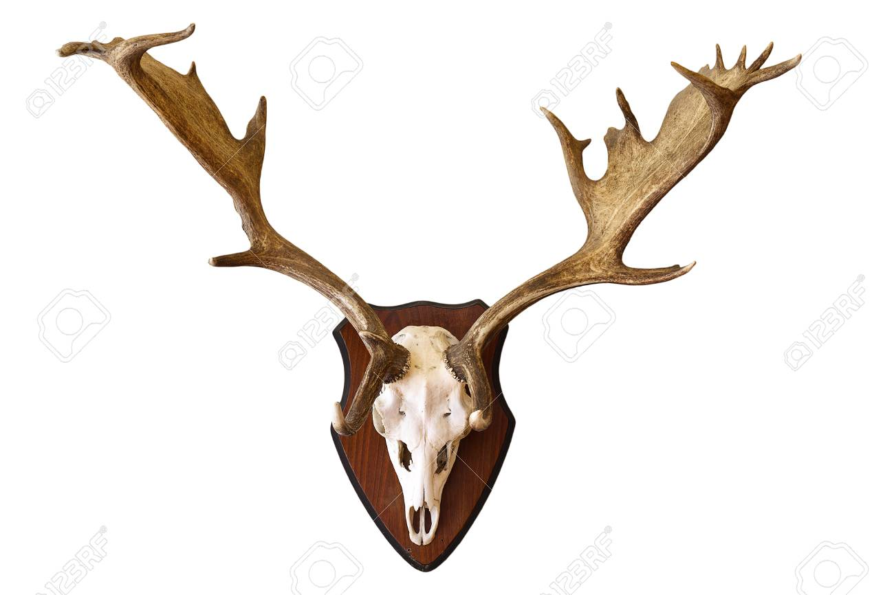 Fallow Deer Stag Isolated Hunting Trophy, Large Male Dama On.. Stock ...