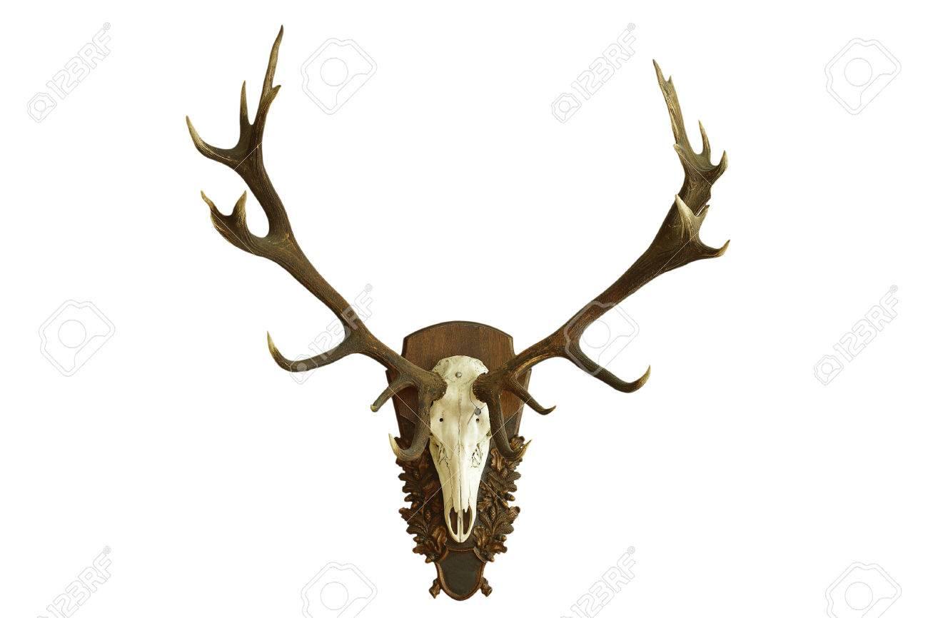Gran Hermoso Cráneo De Ciervo Rojo Aislado Más De Fondo Blanco ...