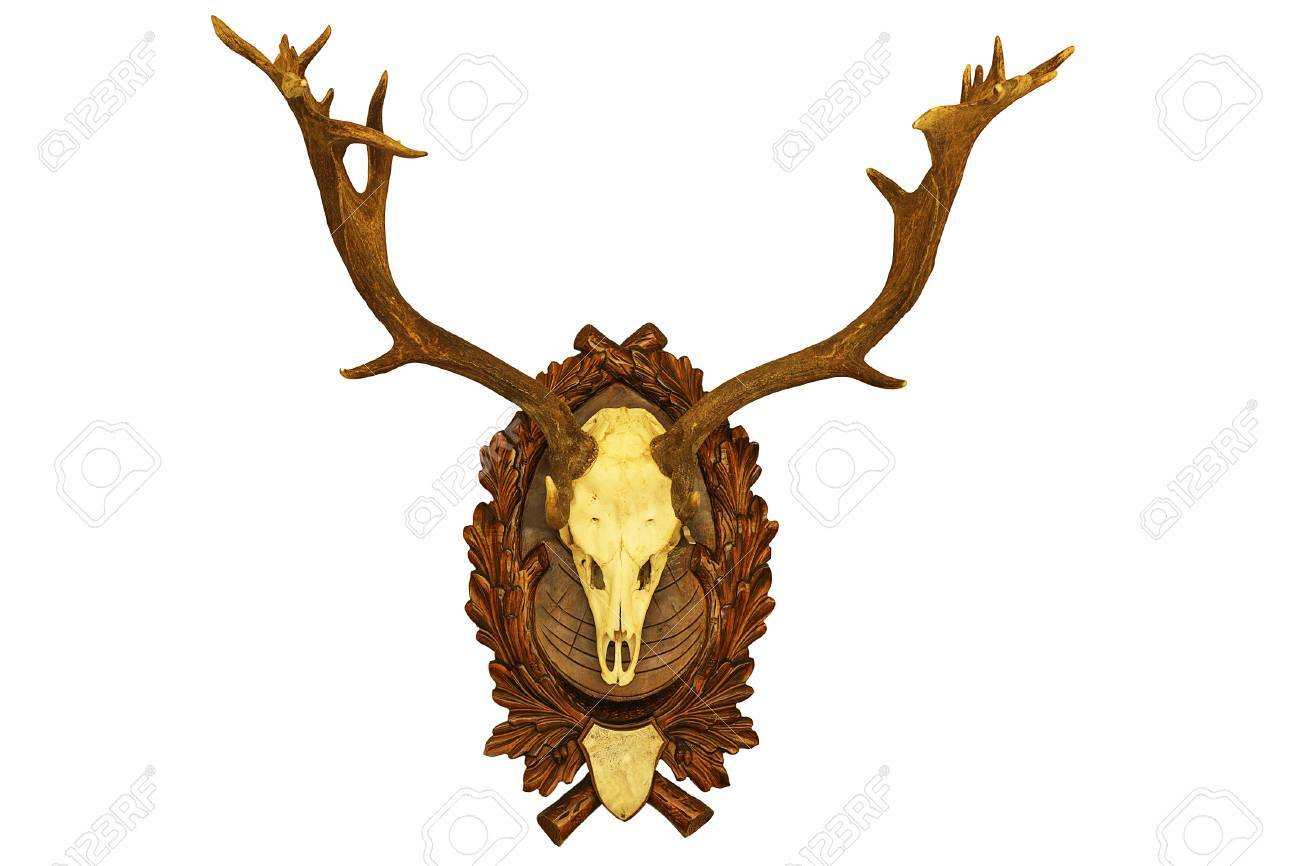 Beautiful Fallow Deer Stag Hunting Trophy Isolated On White ...