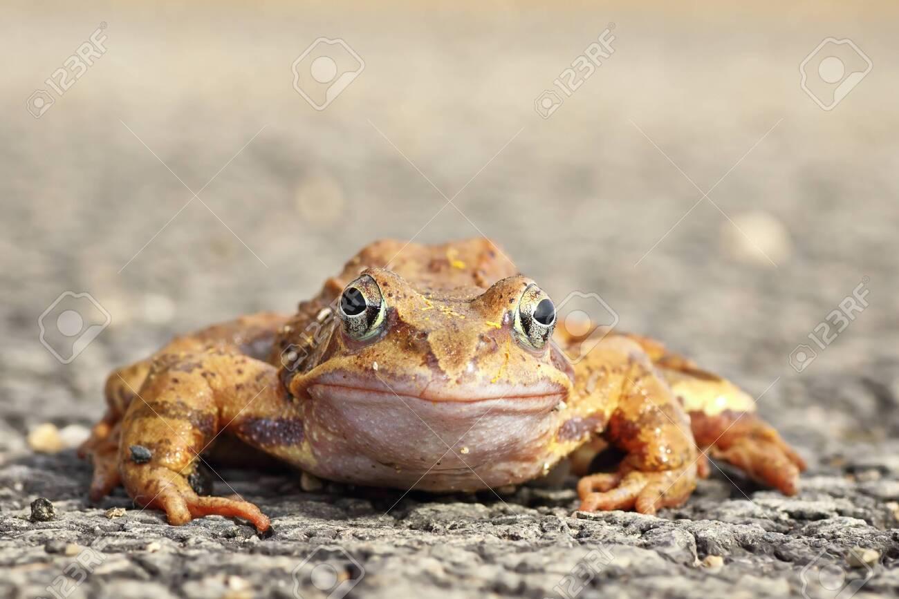 full length agile frog looking at the camera ( Rana dalmatina ) - 122085334