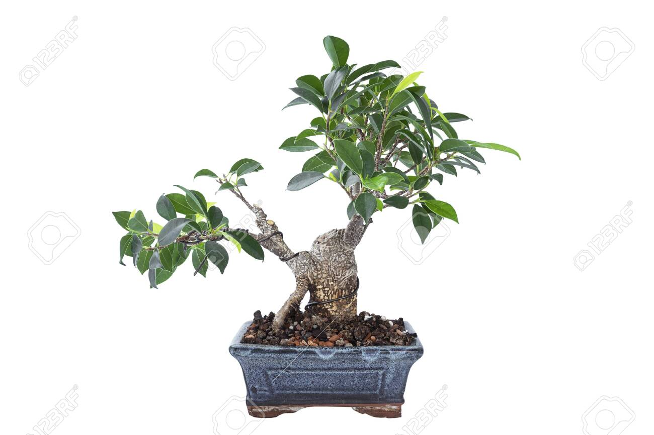 Ficus Microcarpa Tigerbark Bonsai In Training Plant Isolated Stock Photo Picture And Royalty Free Image Image 147265544