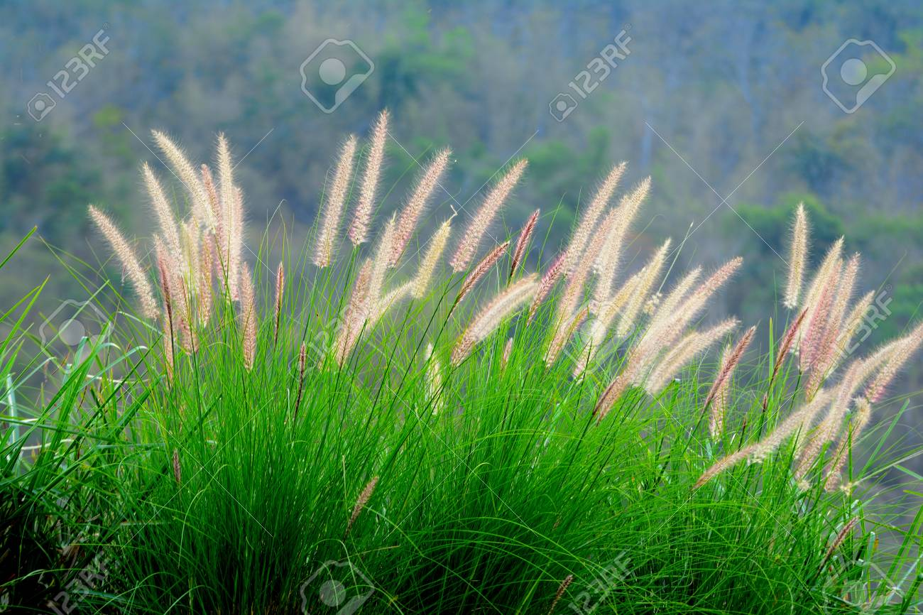 葦の花。 の写真素材・画像素材 Image 73865819.
