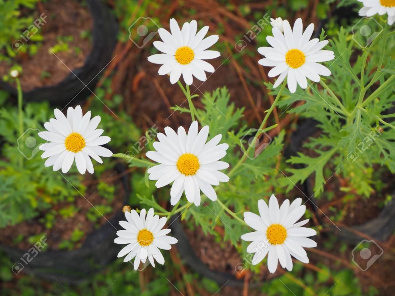 White flowers have yellow stamens stock photo picture and royalty stock photo white flowers have yellow stamens mightylinksfo