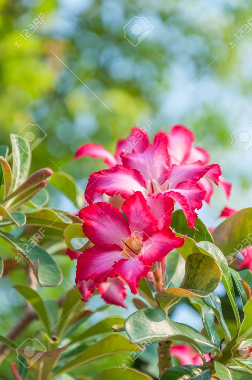 Red Desert Rose Stock Photo - 27057293
