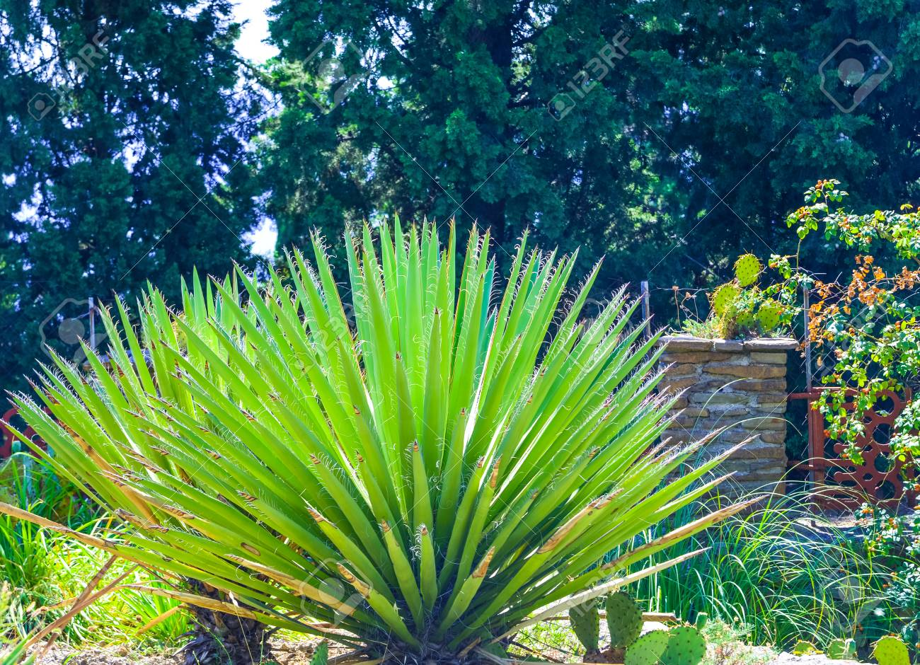 Exotic Green Cactus, Agave And Yucca Plants Grow In Flower Pots In A Garden.