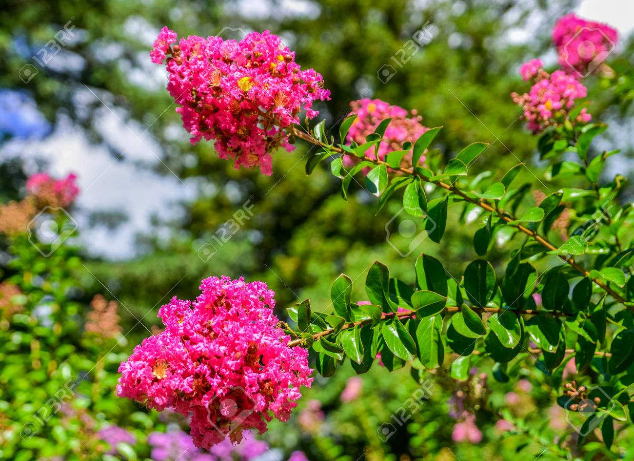 Blossoms Of Pink Crepe Myrtle (lagerstroemia Indica Genus Lythraceae ...