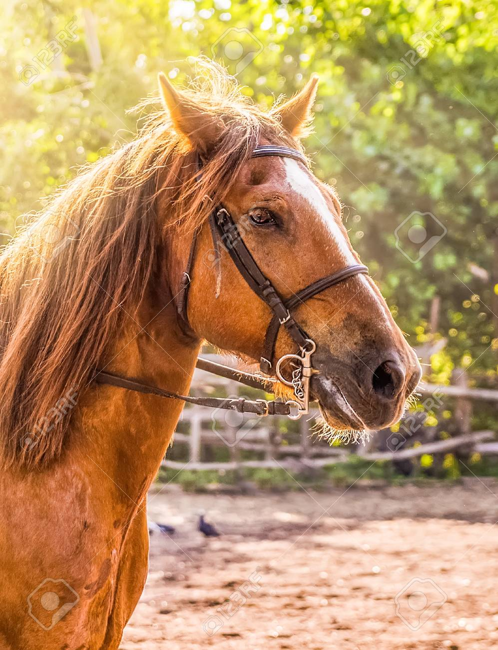 Sorrel Horse Side View Head Shot Of A Bay Stallion Portrait Stock Photo Picture And Royalty Free Image Image 102637794