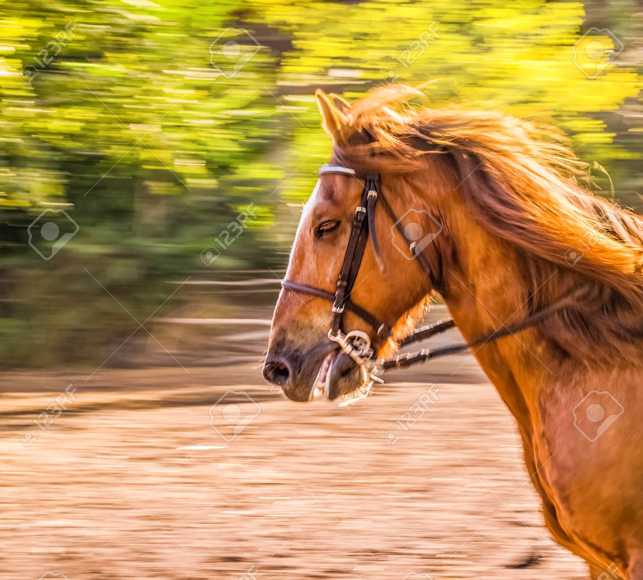 Sorrel Horse Side View Head Shot Of A Bay Stallion Portrait Stock Photo Picture And Royalty Free Image Image 102638614
