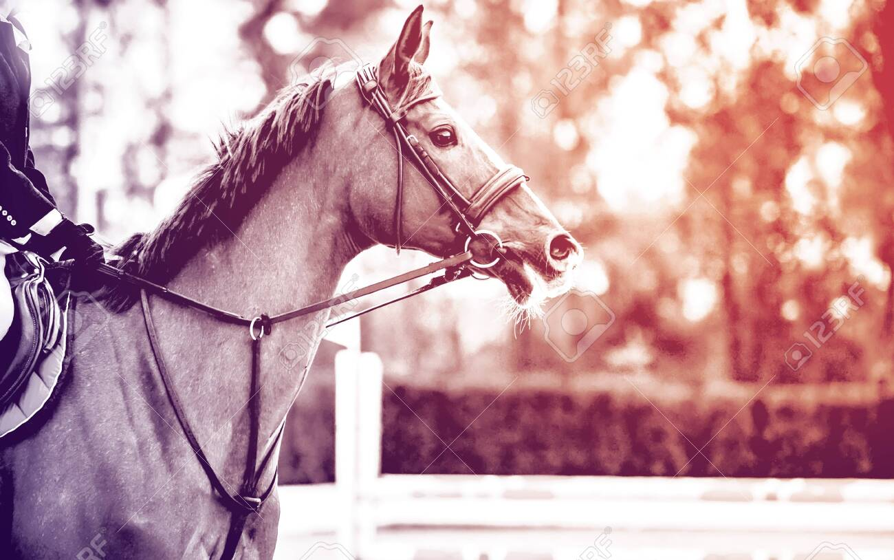 Rideron sorrel horse in jumping show, equestrian sports, duotone, black abd white. Light-brown horse and boy in uniform going to jump. Horizontal web header or banner design. - 139951797