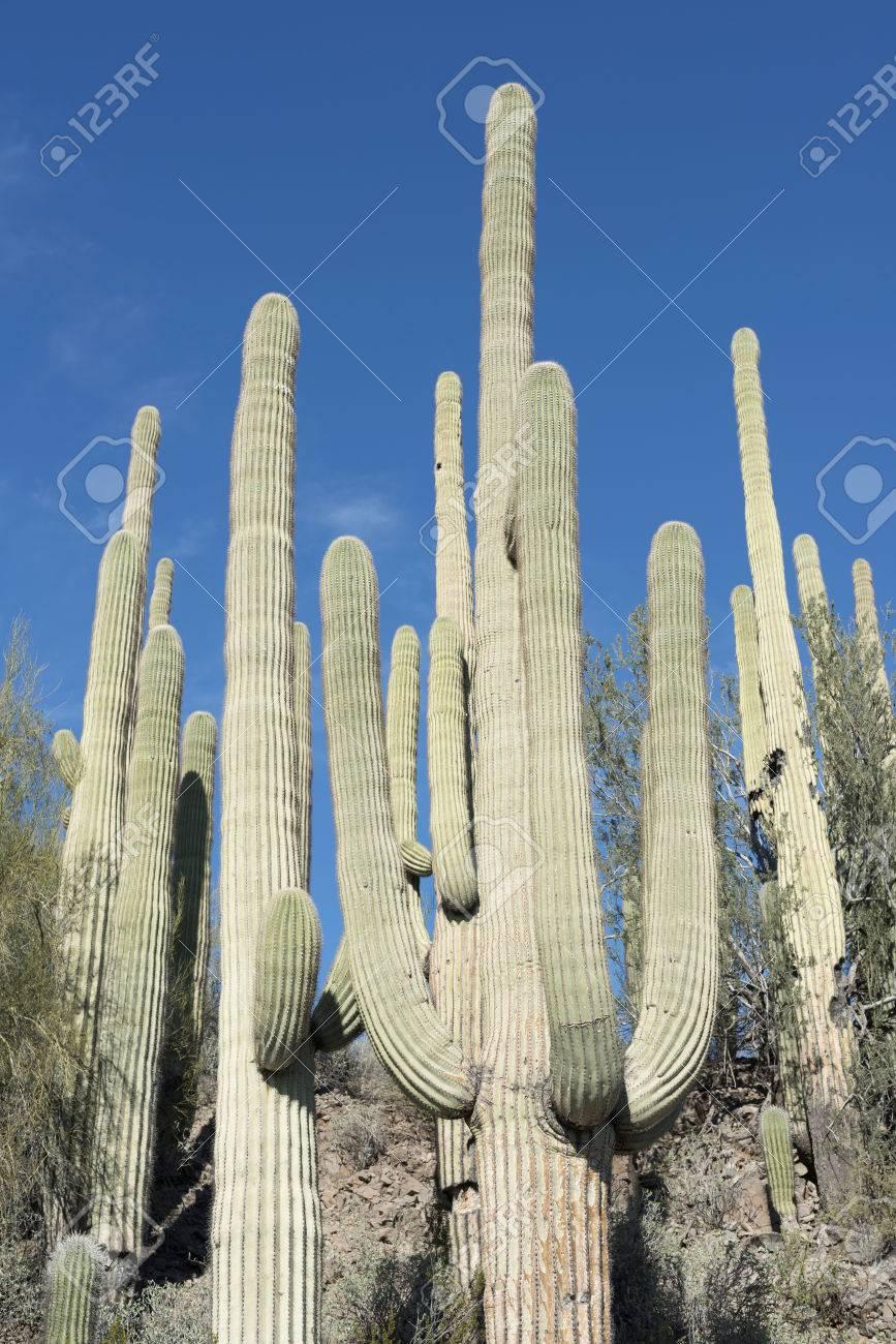 Cactus Saguaro Que Crece En El Desierto De Sonora En Arizona Un