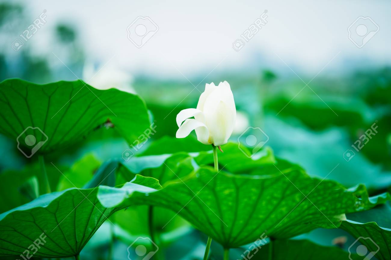 The bud of a lotus flowerckground is the lotus leaf and lotus the bud of a lotus flowerckground is the lotus leaf and lotus flower and izmirmasajfo