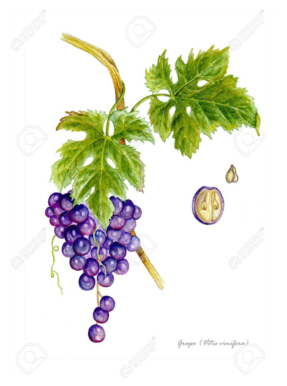 Grape with detail of fruit and seed Stock Photo - 15255017