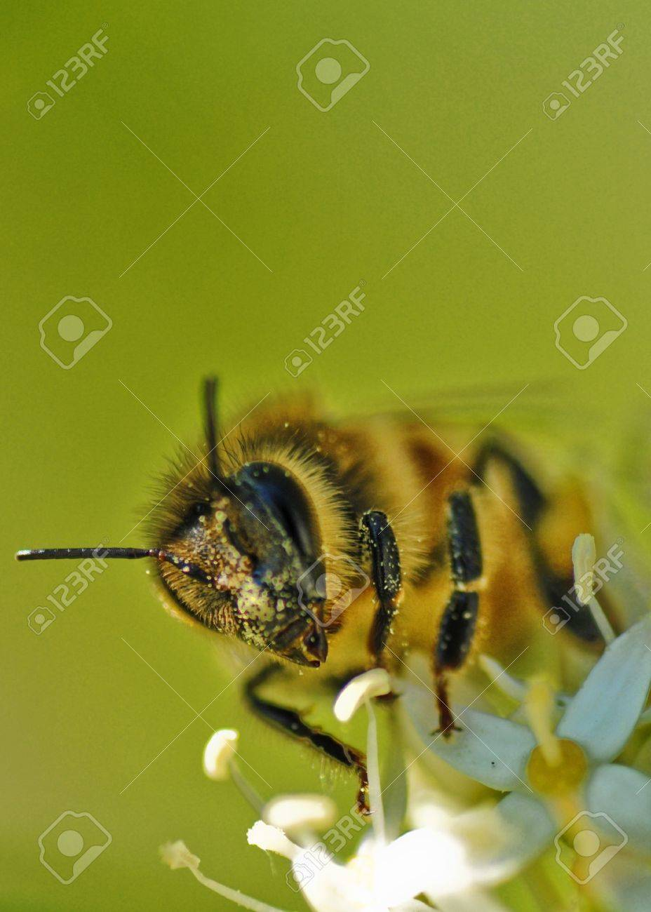 close up of bee Stock Photo - 8278826