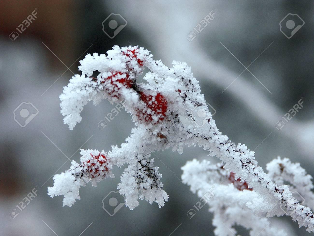 Frosty berries Stock Photo - 8278838