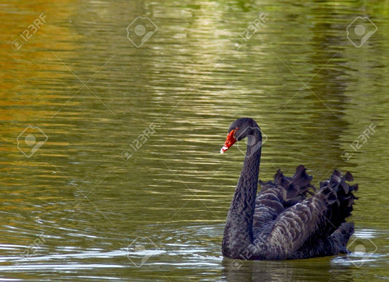 Black swan in  Stratford Ontario Stock Photo - 8278835
