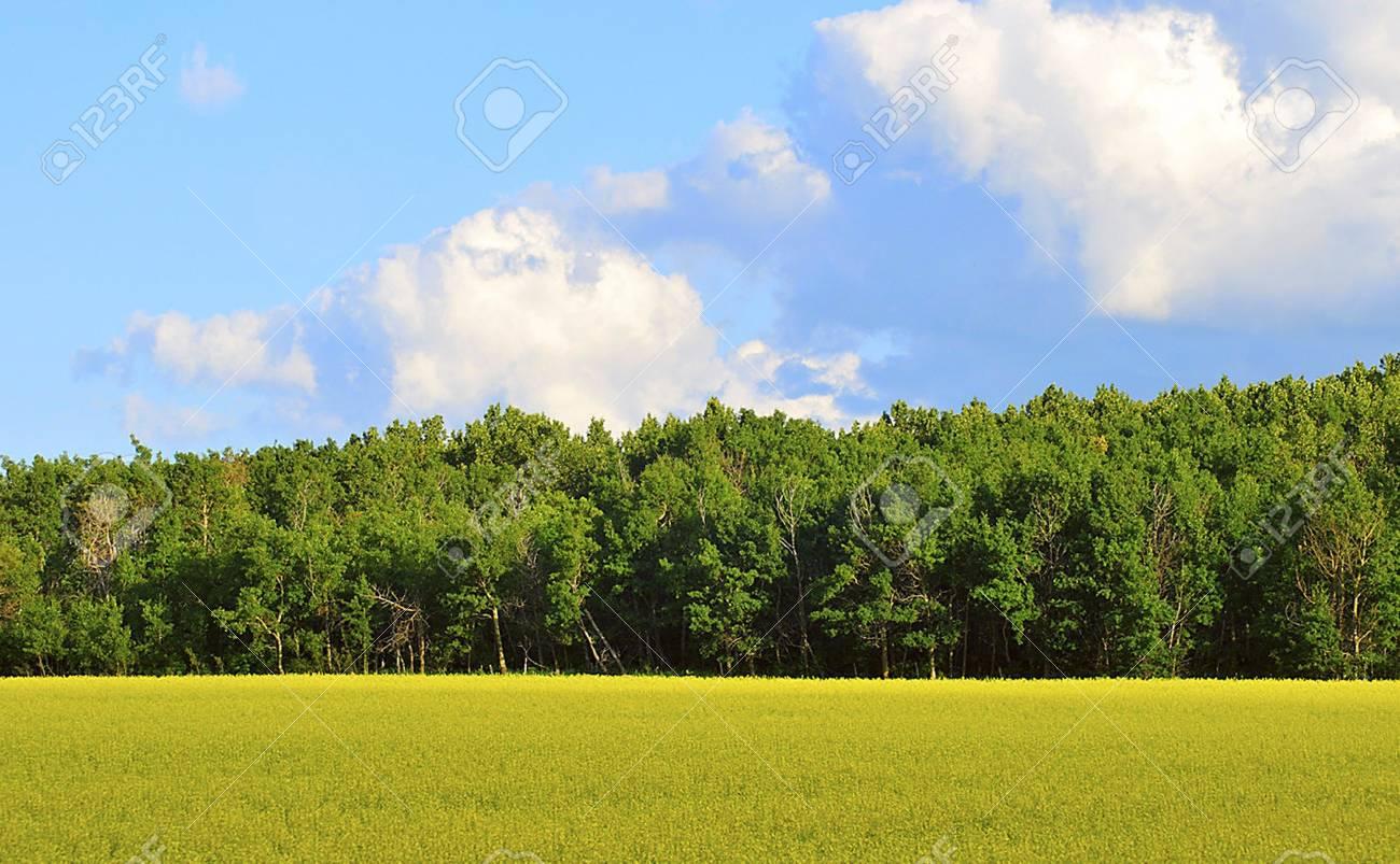 Canola field Stock Photo - 8278842