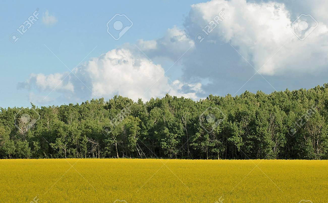 Canola field Stock Photo - 8278837