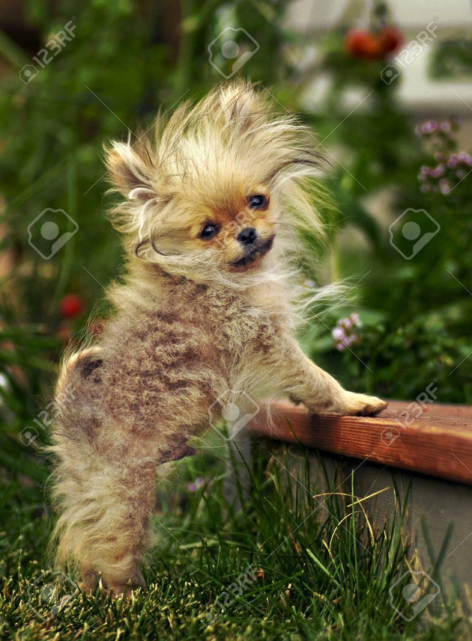 Pomeranian puppy stuck on stairs Stock Photo - 8287725