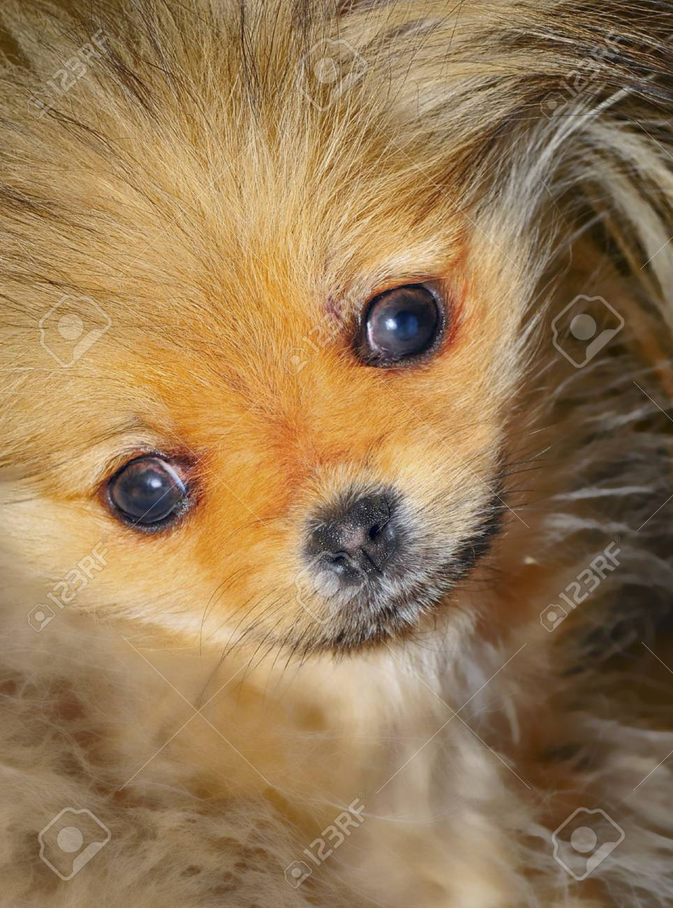 Pomeranian puppy at 12 weeks old Stock Photo - 8287738