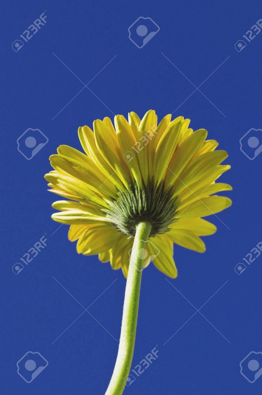 Long stem false sunflower Stock Photo - 8287659