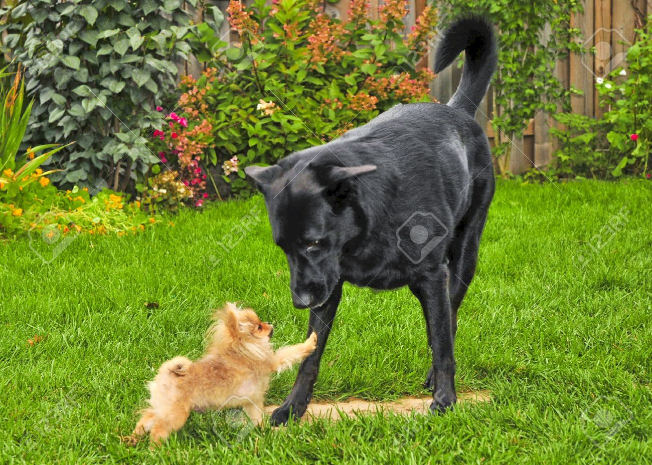 8418369-smal-dog-vs-big-dog-Stock-Photo-