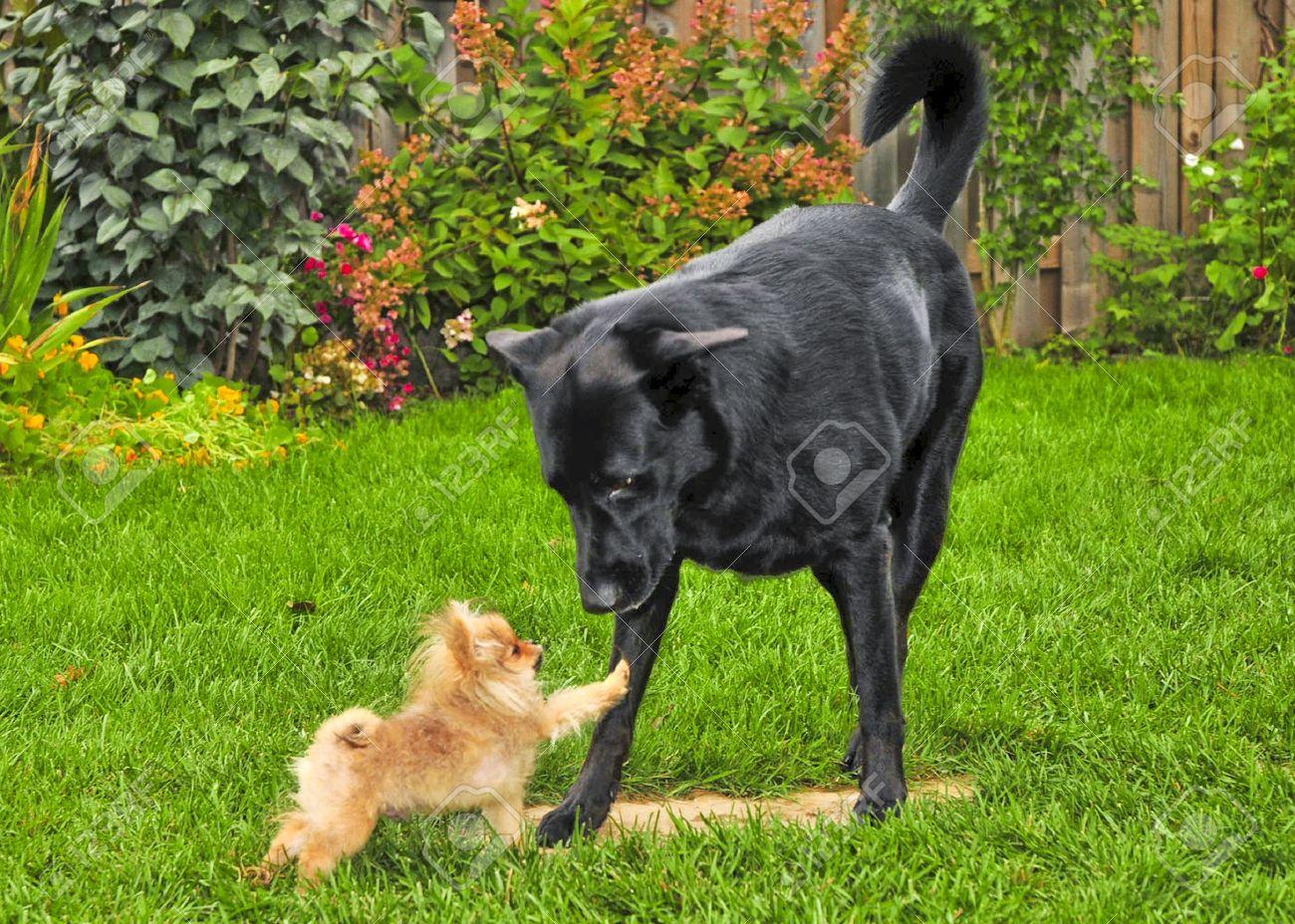 8418369-smal-dog-vs-big-dog-Stock-Photo-