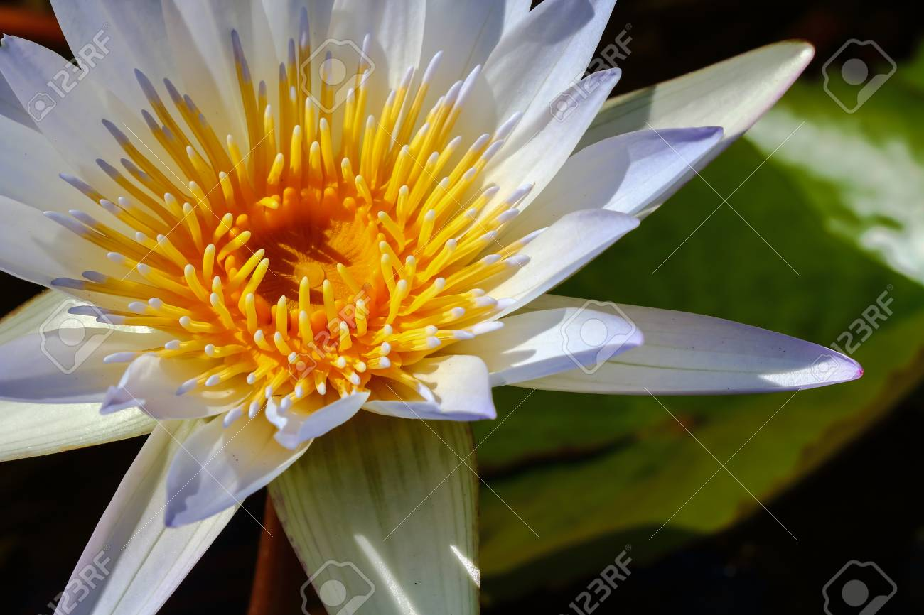 Yellow Lotus Flower And Lotus Flower Plants Stock Photo Picture And