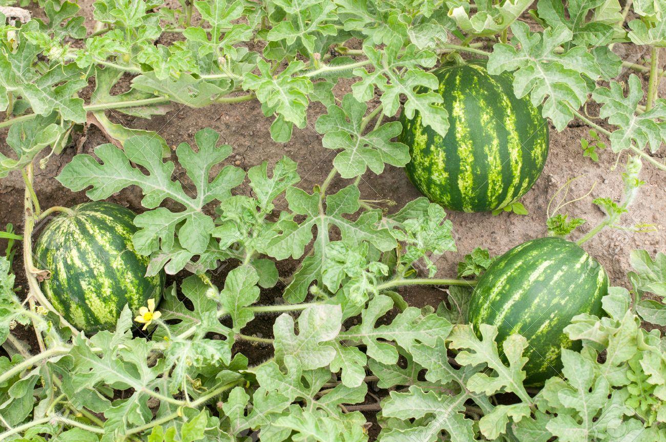 Berühmt Wassermelone Pflanze In Einem Gemüse Garten- Ganze Pflanze #EI_37
