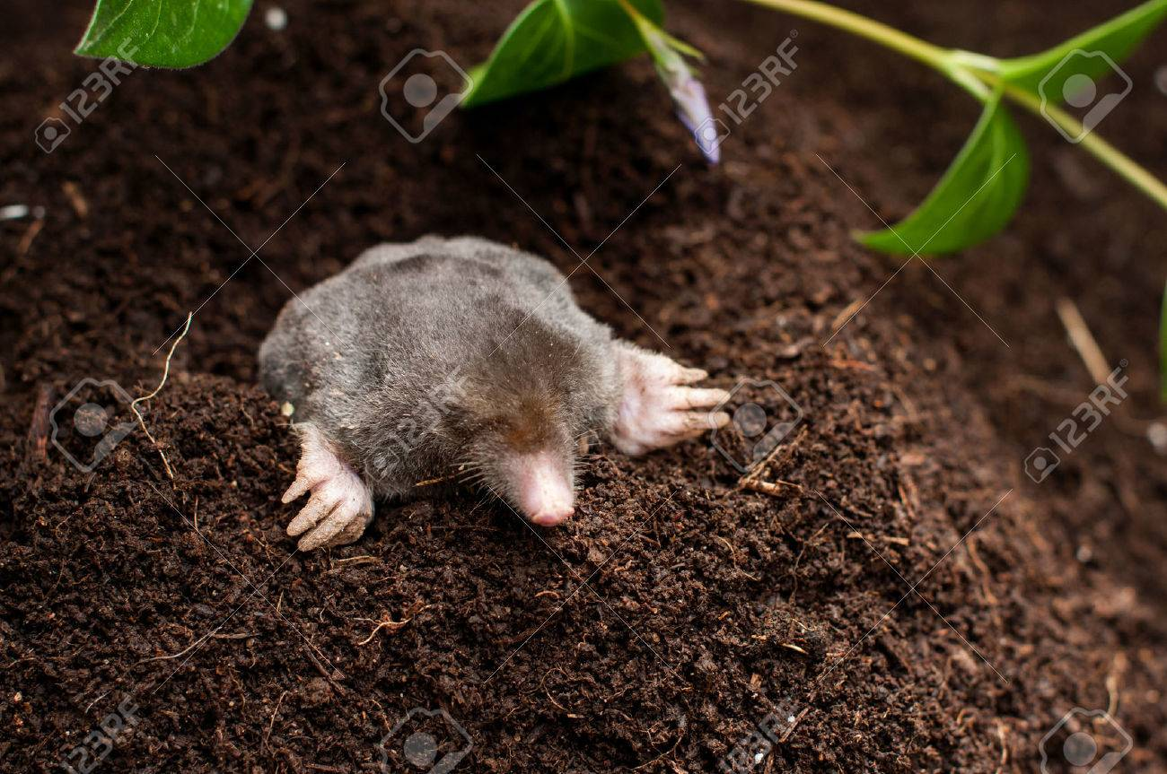 Mole In The Soil Hole In The Garden Stock Photo   32843446