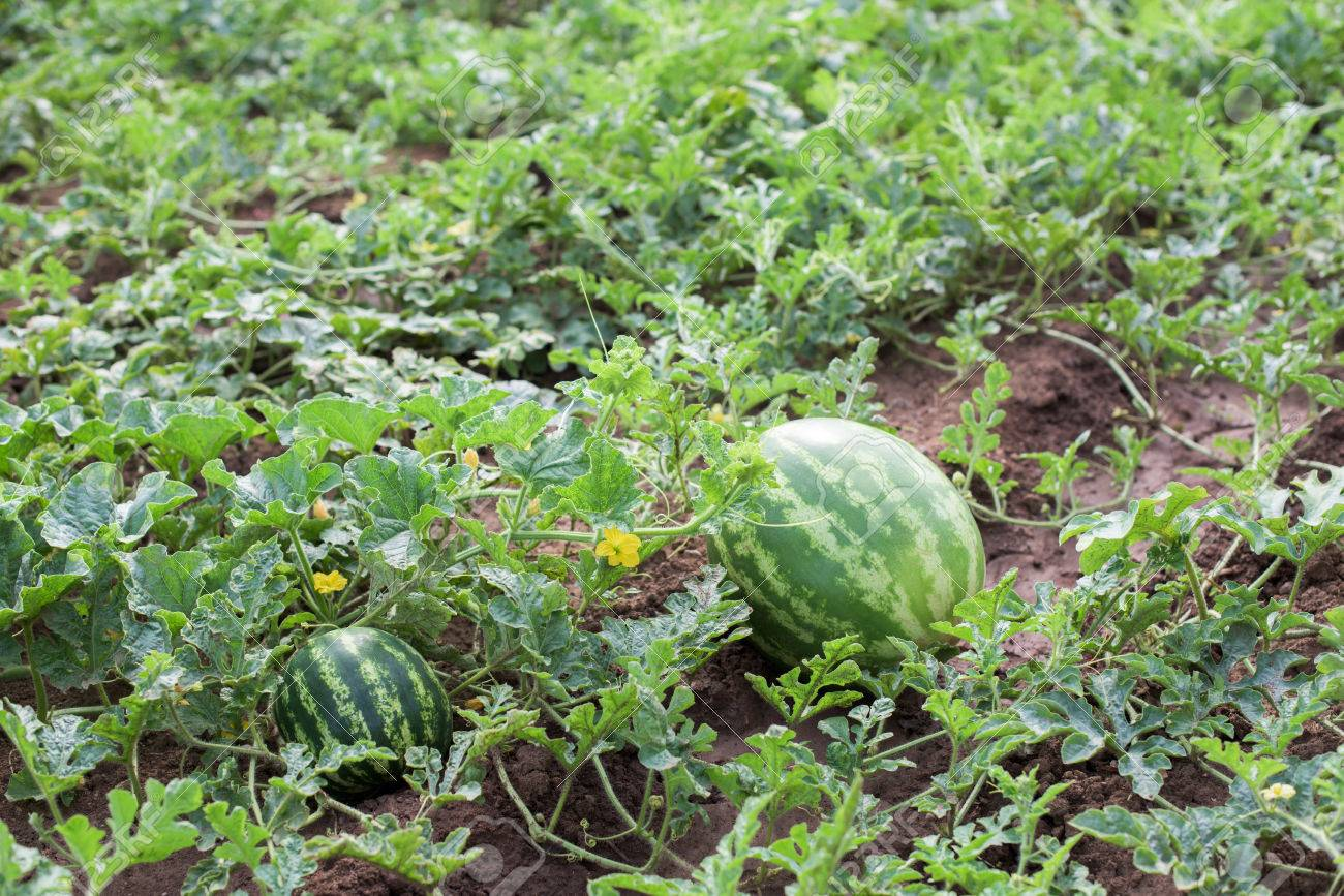 Watermelon Plant With Fruits And Blossoms In A Vegetable Garden Stock Photo    62452132