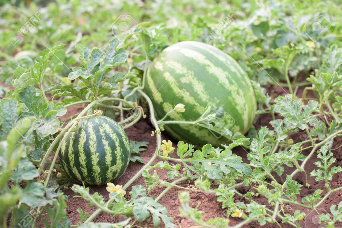 Part Of Watermelon Plant Fruits Leaves Steams Blossoms Stock Photo Picture And Royalty Free Image Image 89451134