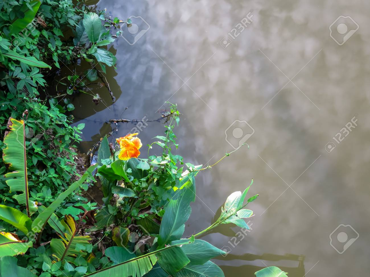 Orange And Yellow Color Canna Lily Flower On River Bank With.. Stock ...