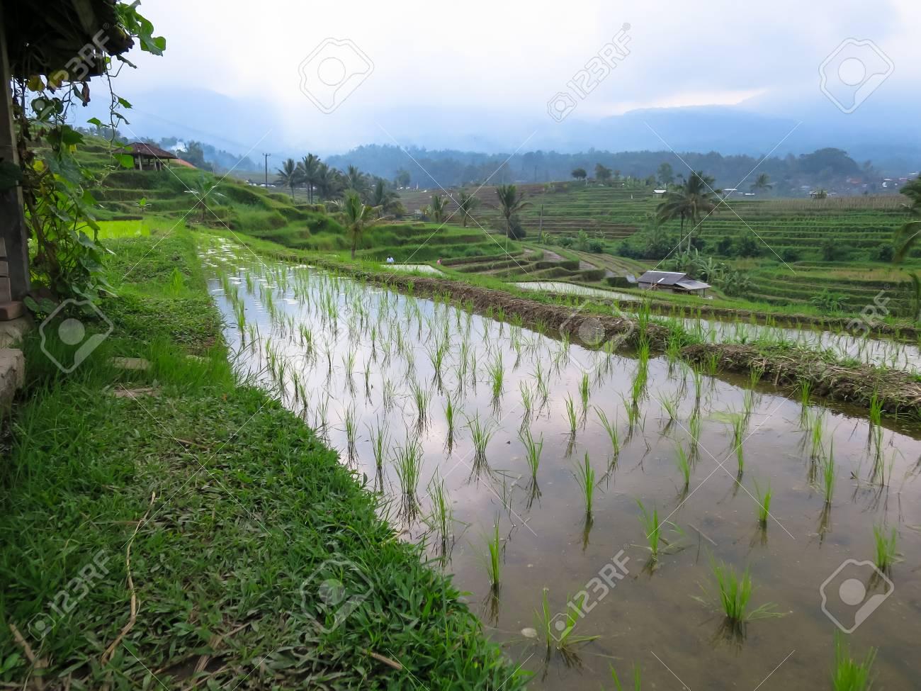Arroz Verde Brota En Campos De Arroz En Terrazas De Arroz Con Líneas Curvas Y Vista A La Montaña Y Kioscos Locales