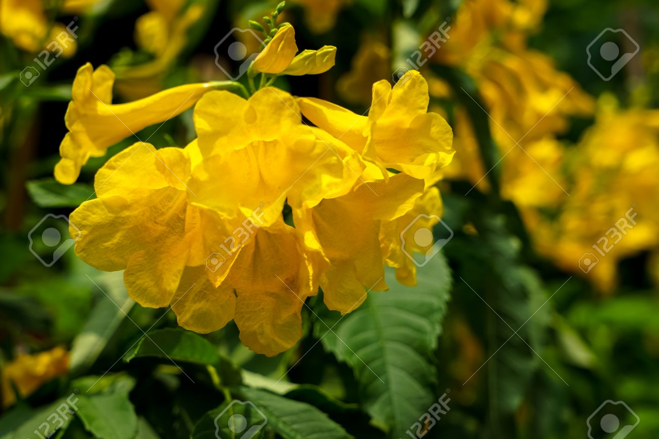 Bright Yellow Bells Flower Or Tecoma Stans Blooming Under Sunlight