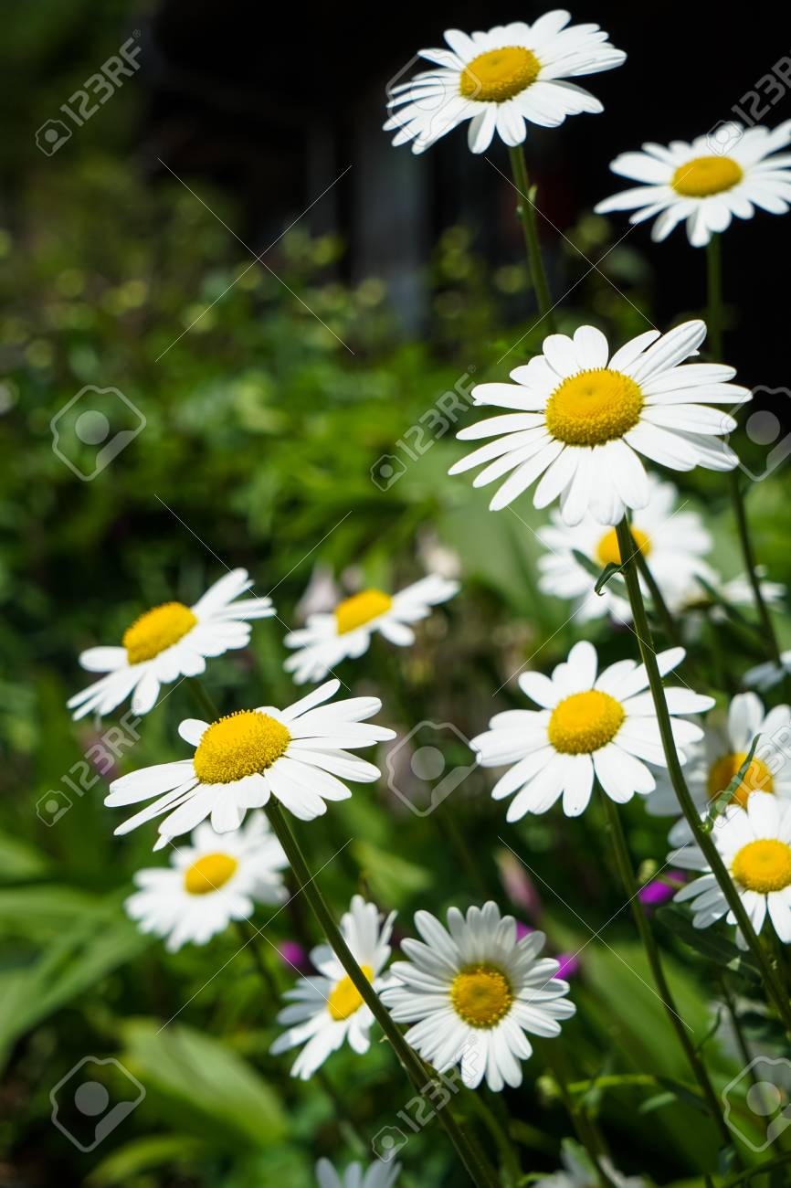 Closeup Bright White Daisy Flowers Blooming With Yellow Pollen