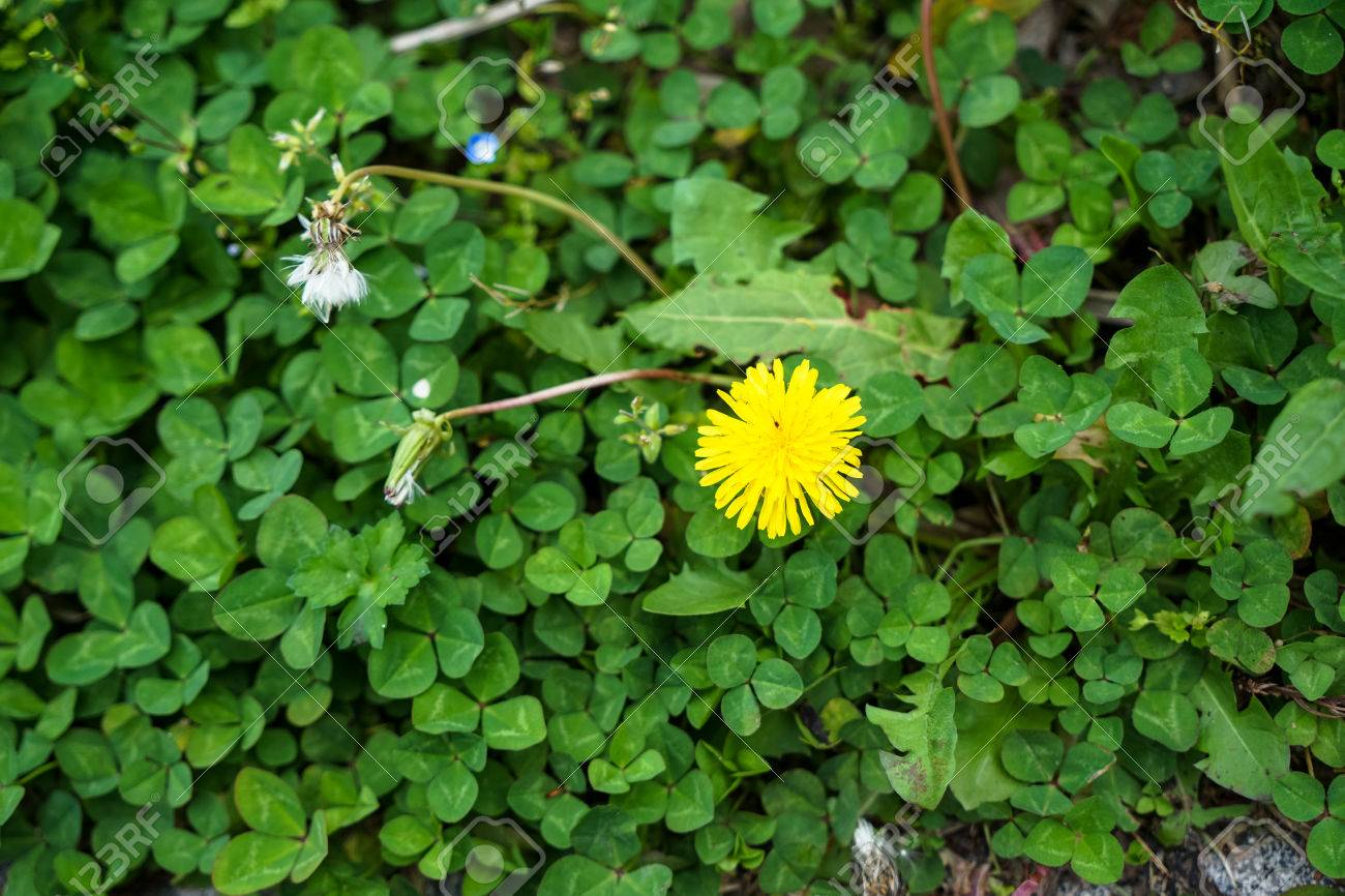 Bright Small Ground Cover Yellow Flower Blooming Among Green Stock