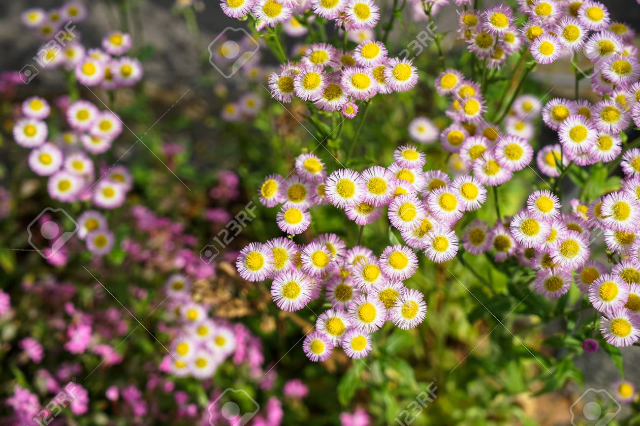 Dreamy Frame Of Vibrant Small Circular Shape Aster Flower In Stock