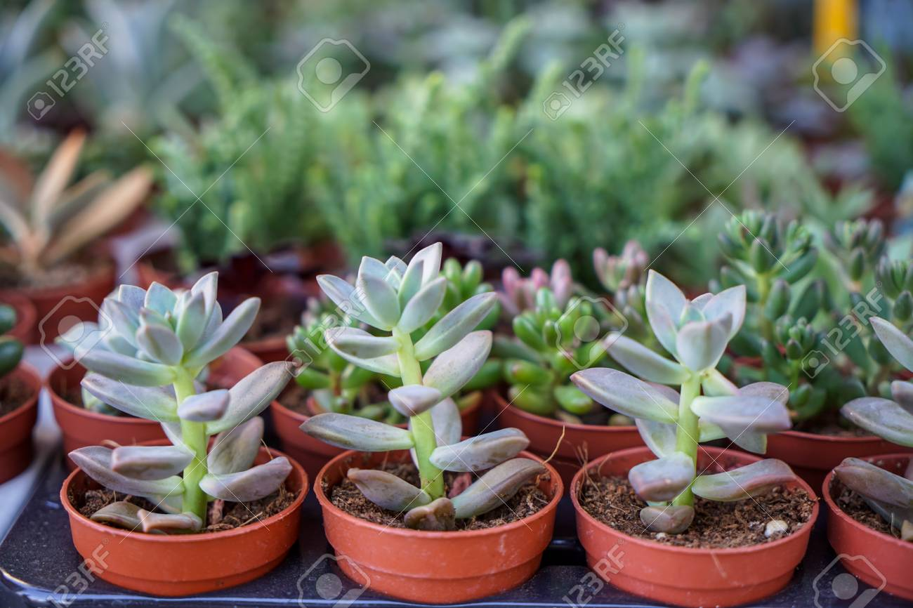 Varieties Of Vintage Green Hen And Chicks Succulent Plant In