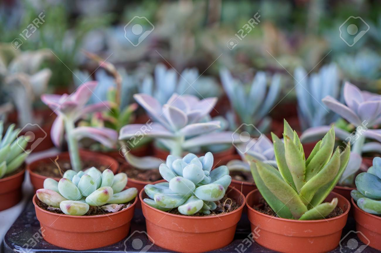 Varieties Of Green Hen And Chicks Succulent Plant In Brown