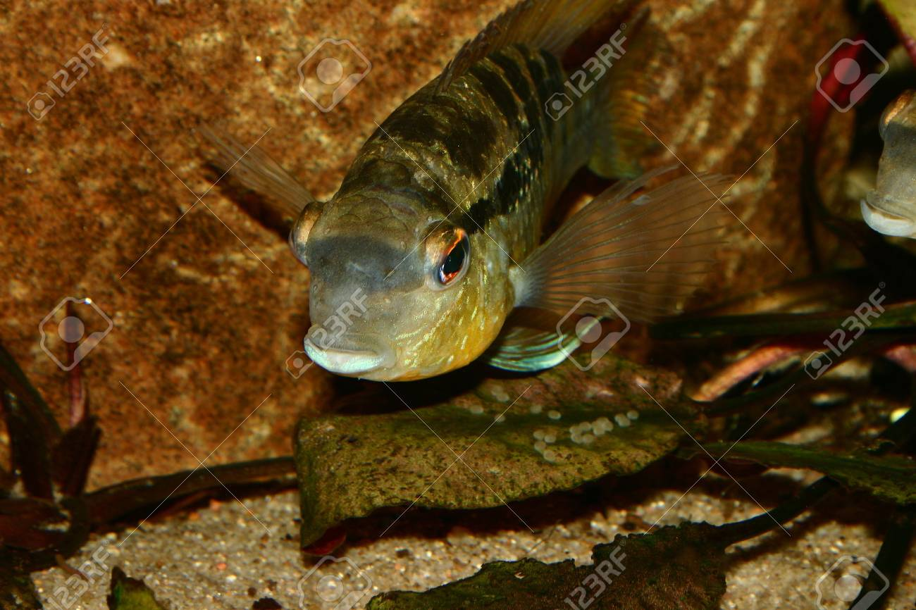 Cichlid (Bujurquina spec.) - Male at the clutch Stock Photo - 7110493