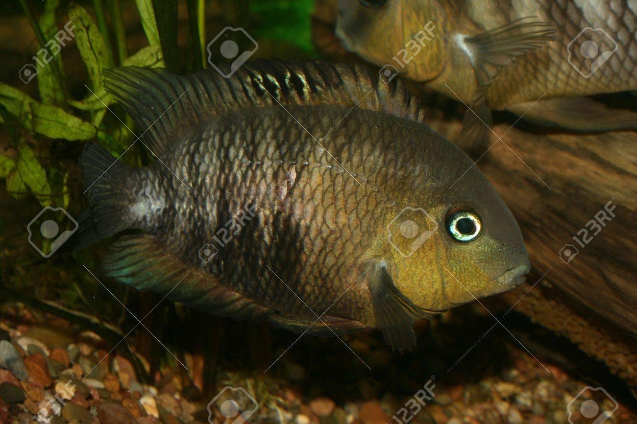 Blue Eyed Cichlid (Cryptoheros spilurus) - female at the clutch Stock Photo - 7204013