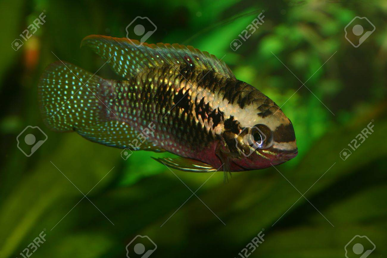 Red dots cichlid (Laetacara dorsigera) - Male Stock Photo - 8810656