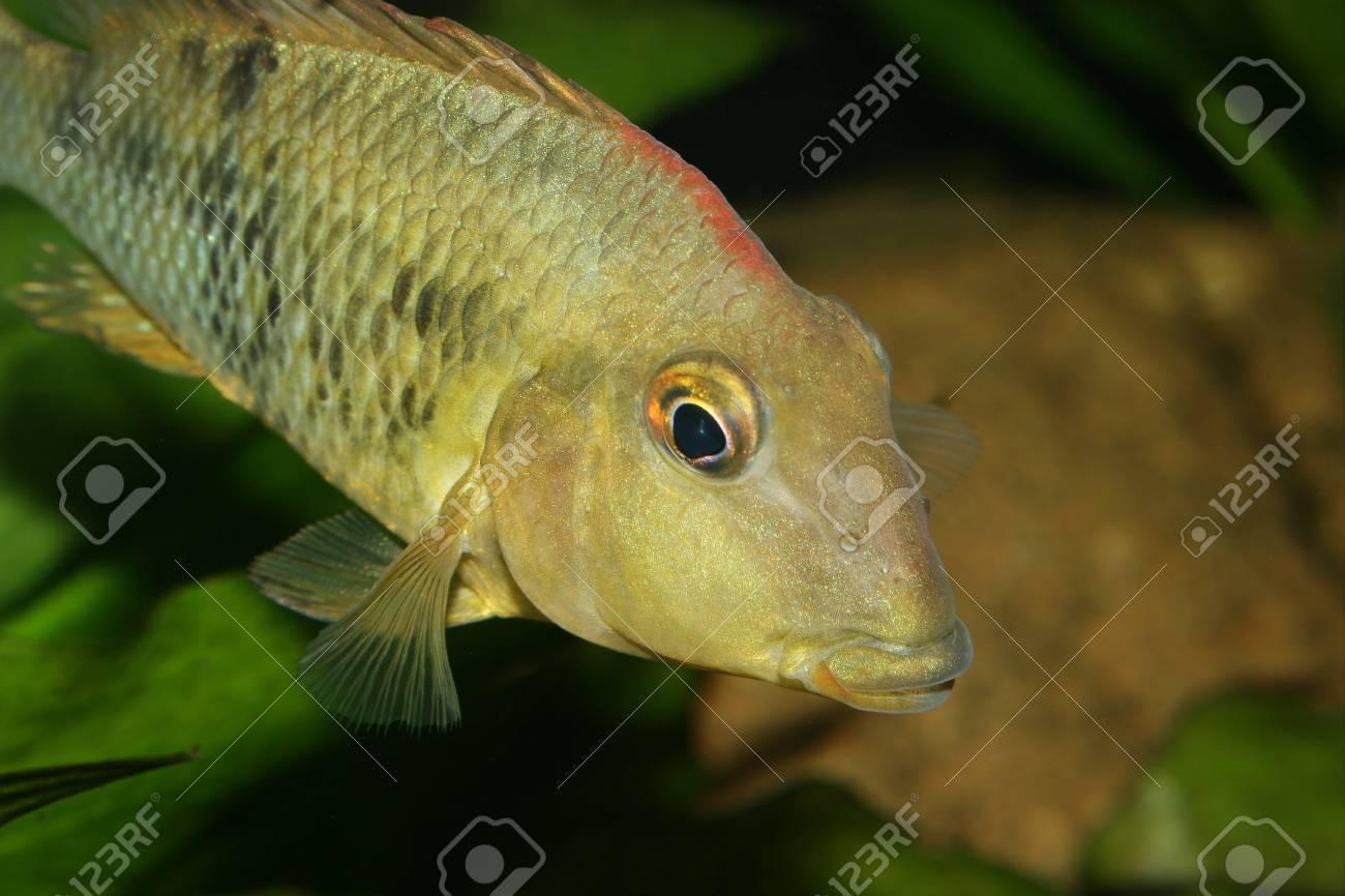Redhead cichlid (Geophagus steindachneri) - Female Stock Photo - 9037706