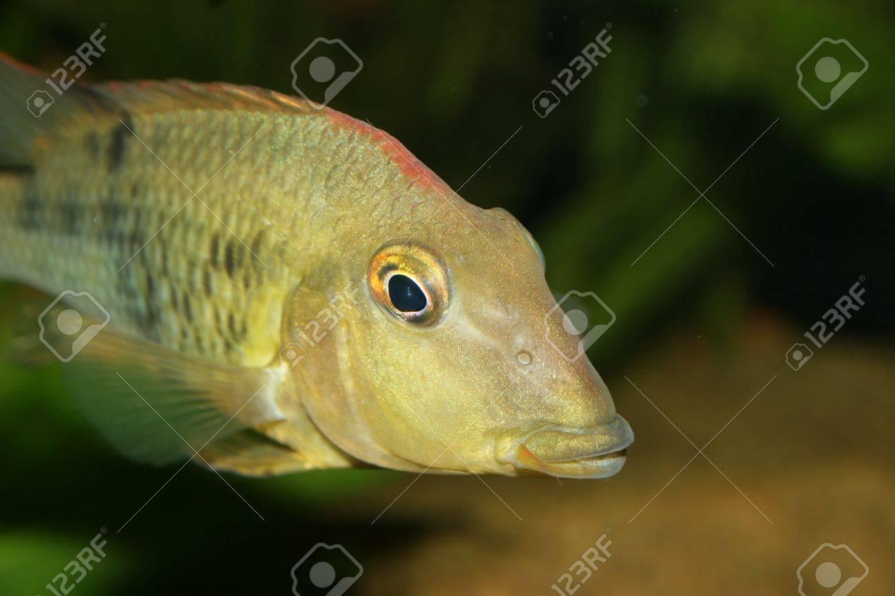 Redhead cichlid (Geophagus steindachneri) - Female Stock Photo - 9037668