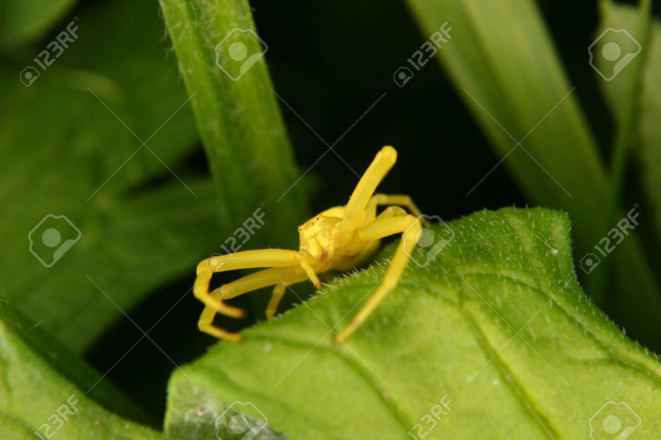 Goldenrod  crab spider (Misumena vatia)  on a leaf Stock Photo - 10677512