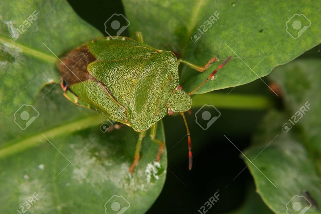 Green shield bug (Palomena prasina) on a leaf Stock Photo - 10677527
