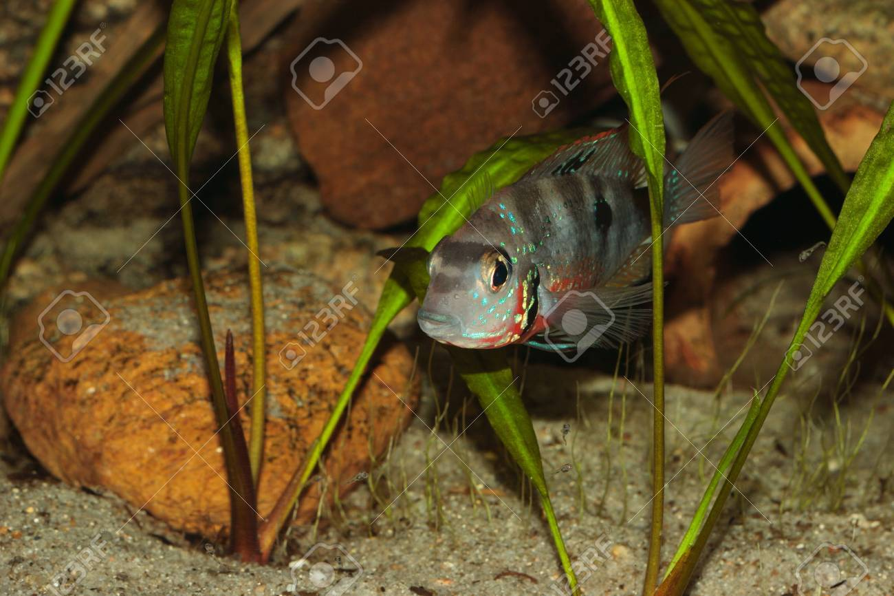 Freshwater juvenile fish - Mexican Fire Mouth Thorichthys Ellioti Female With A Small Flock Of Juvenile Fish