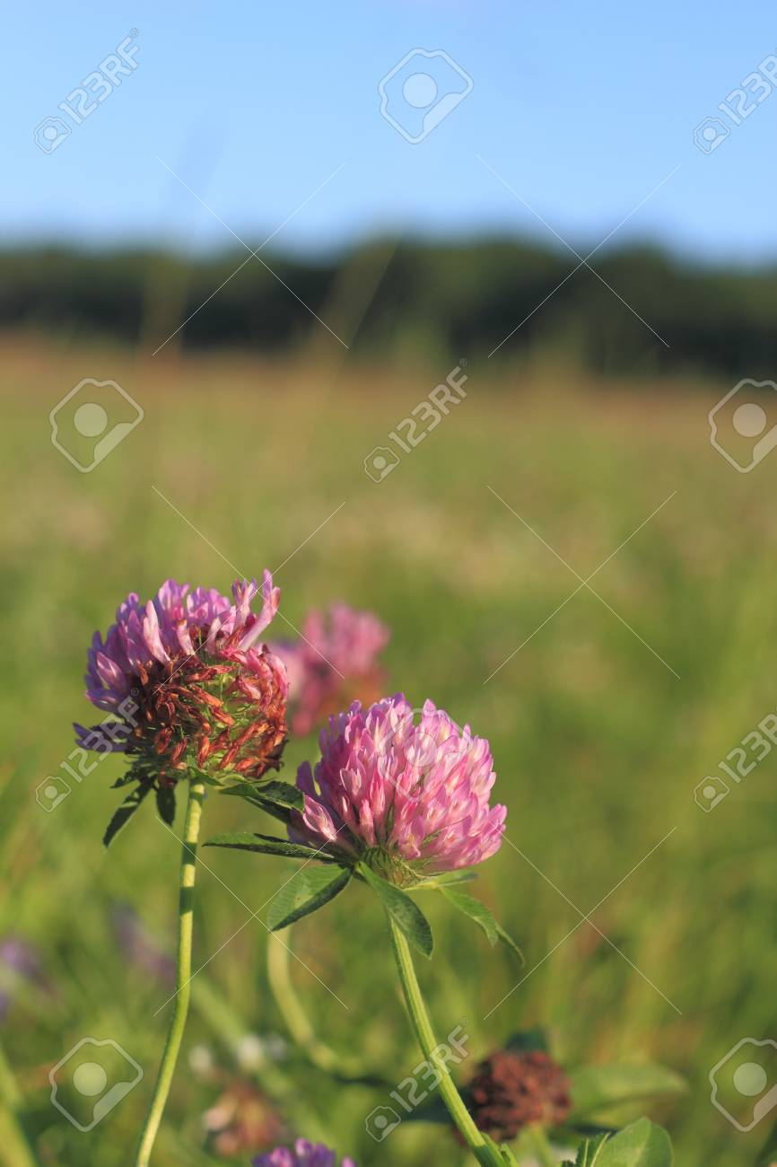 Blooming Zigzag clover (Trifolium medium) in a meadow Stock Photo - 14922445
