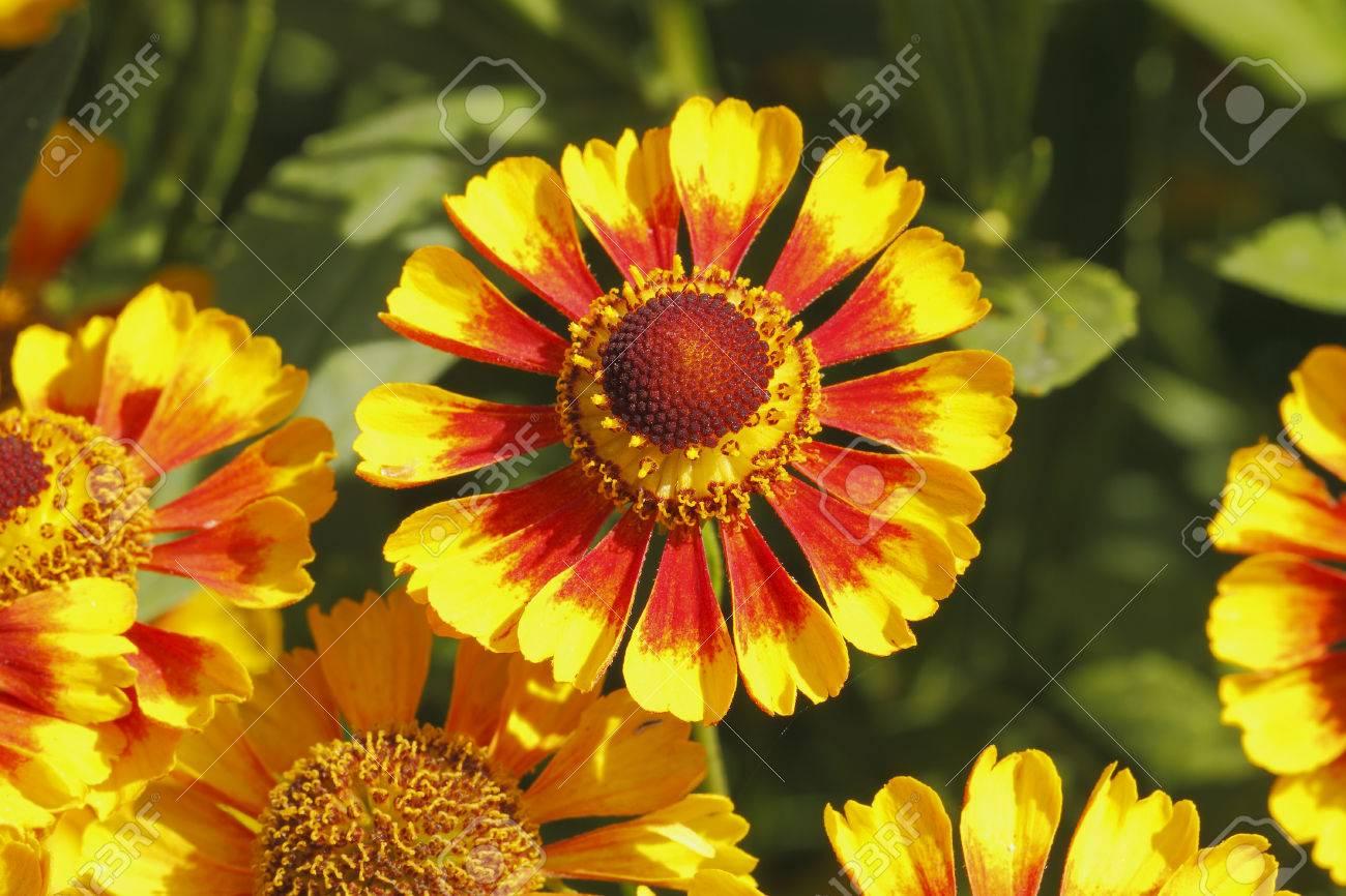 Blooming Blanket Flowers Gaillardia Aristata In A Garden Stock